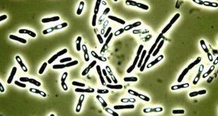 Foodelphi.com bacillus basili